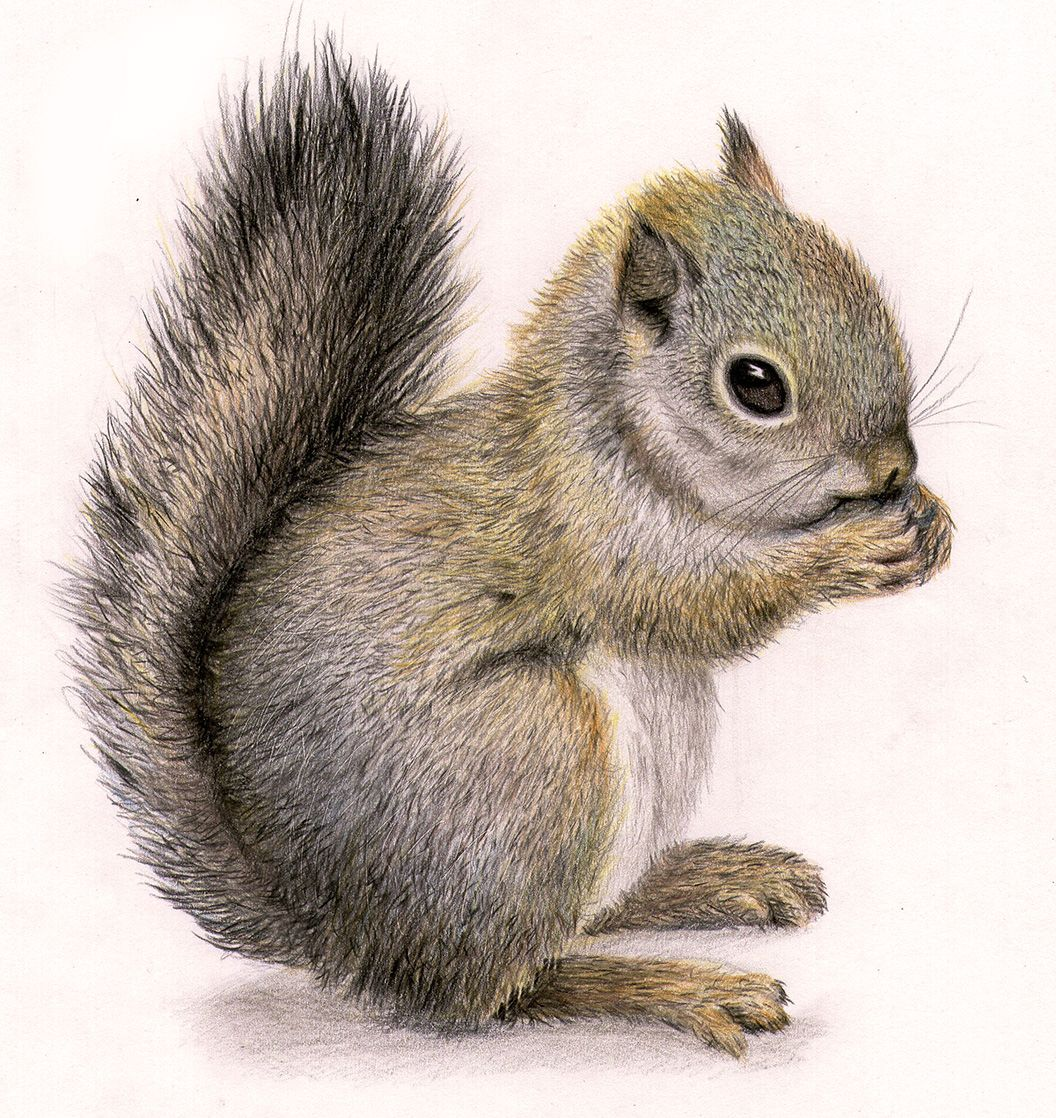 Squirrel clipart squirrel drawing. Pencil and in color