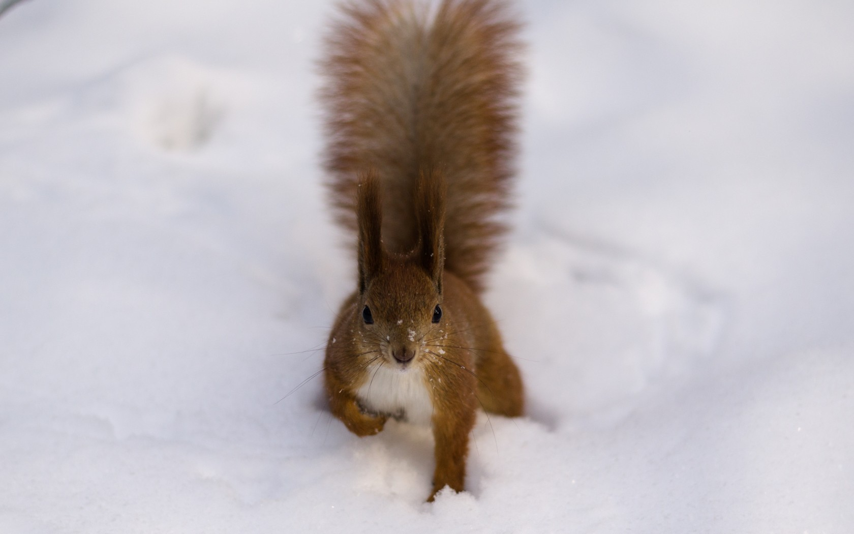 Squirrel clipart winter. Fluffy red snow tail