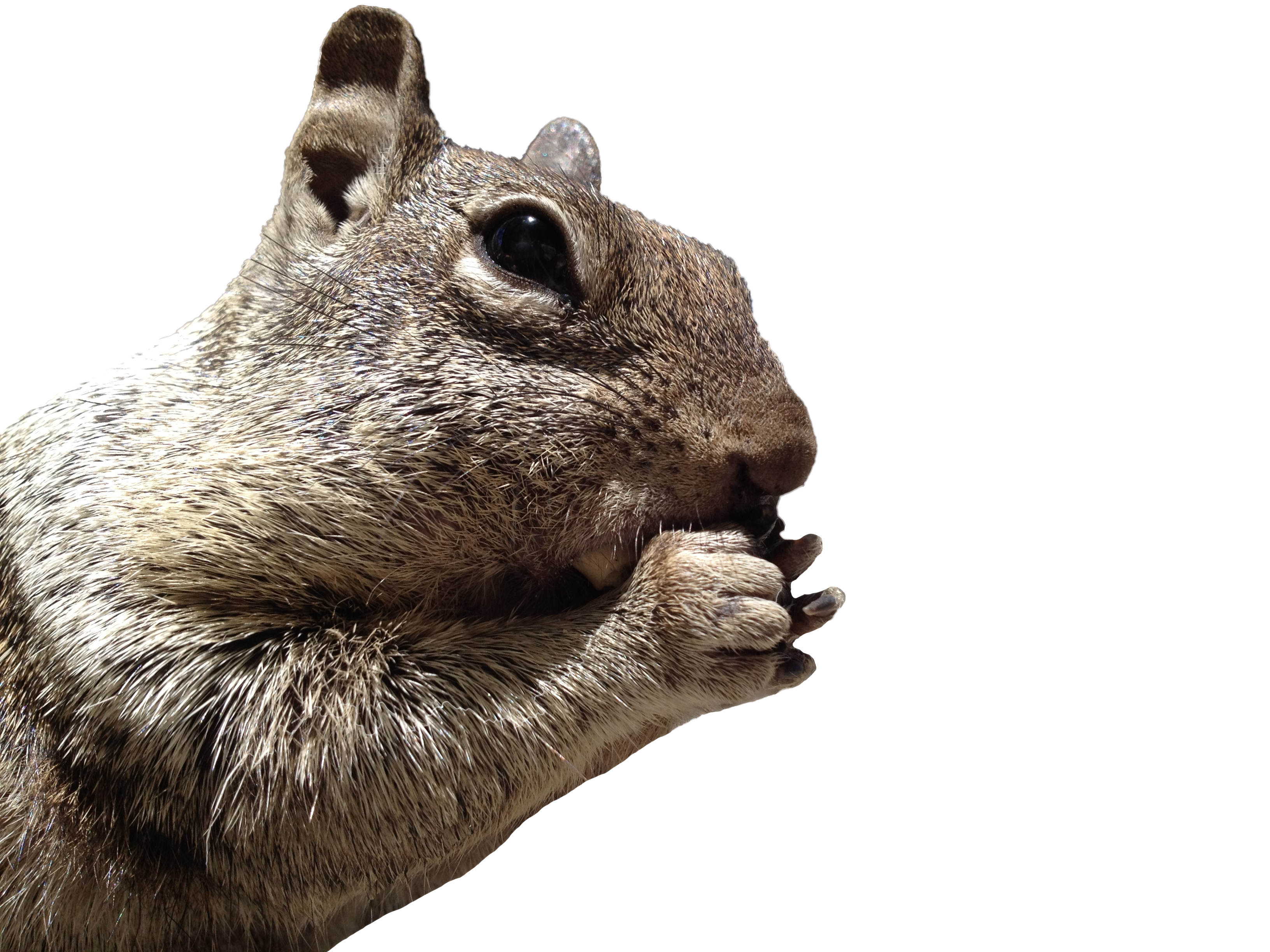 Squirrel head png. Iphone s between the
