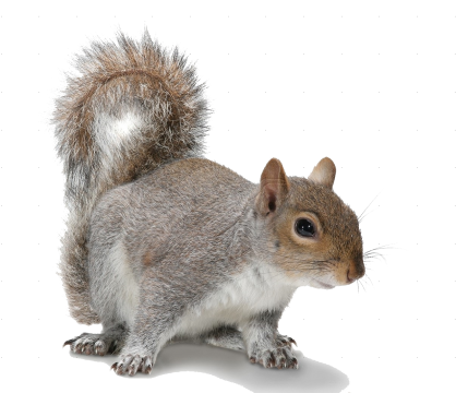 Squirrel .png. Png