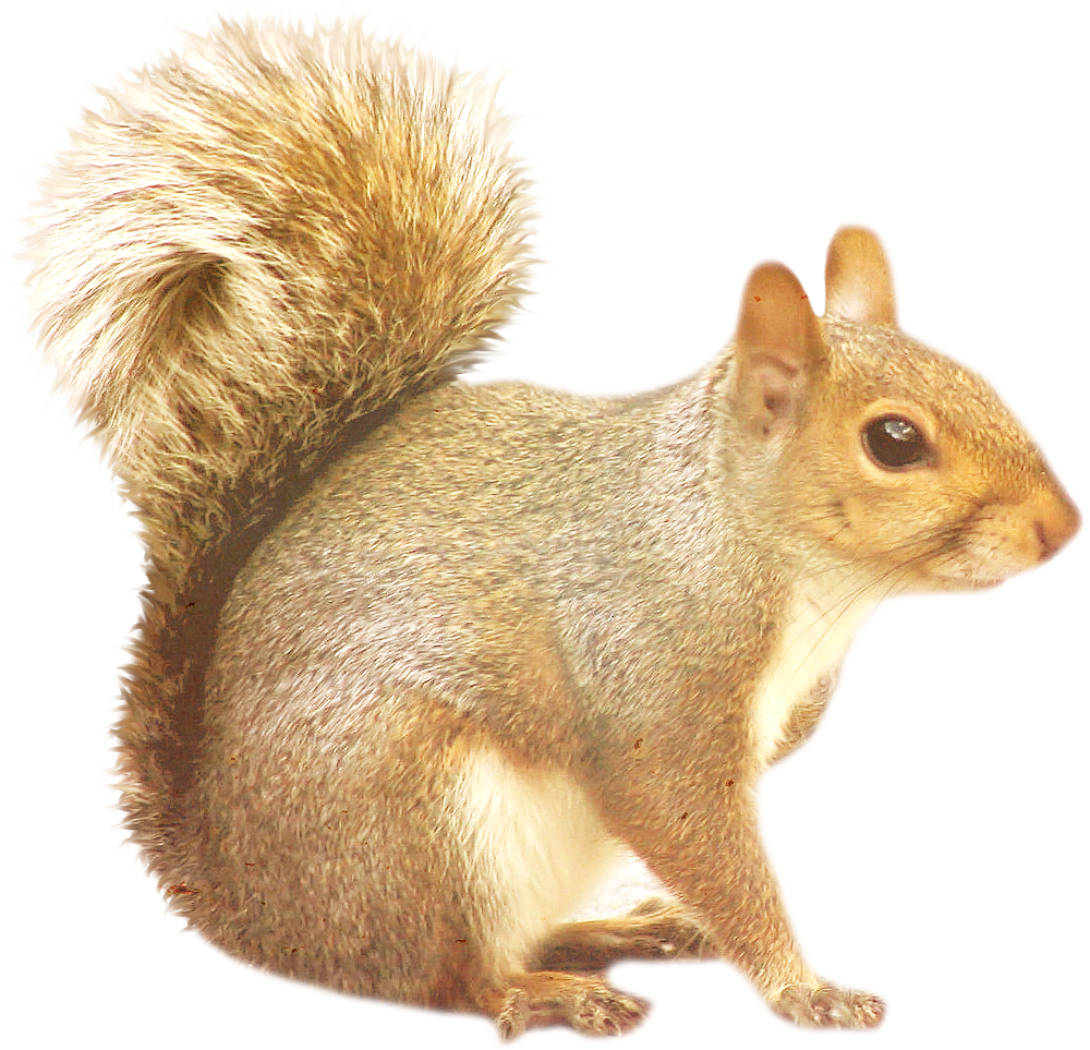Squirrel png. Images free download
