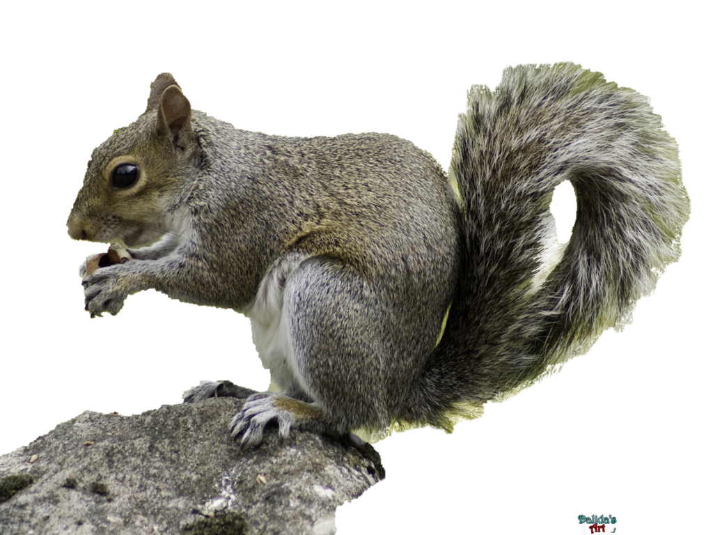 Squirrel .png. Grey eating png by