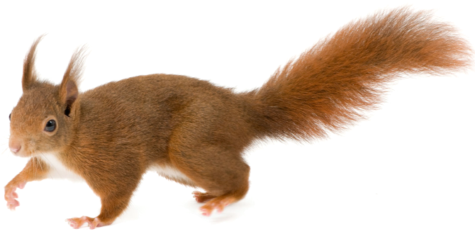 Squirrel .png. Png animal pinterest and