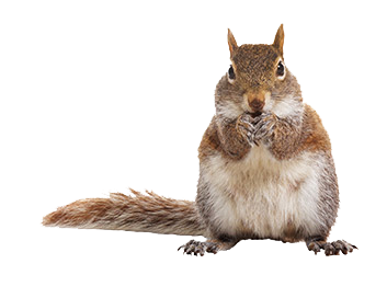 Squirrel .png. Png photos vector clipart