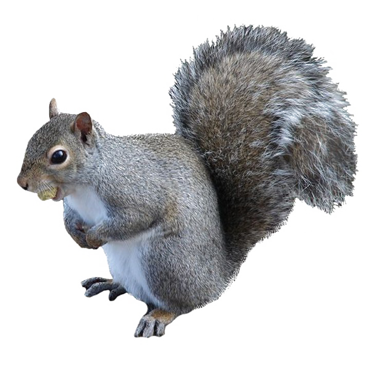 Squirrel .png. Png high quality image