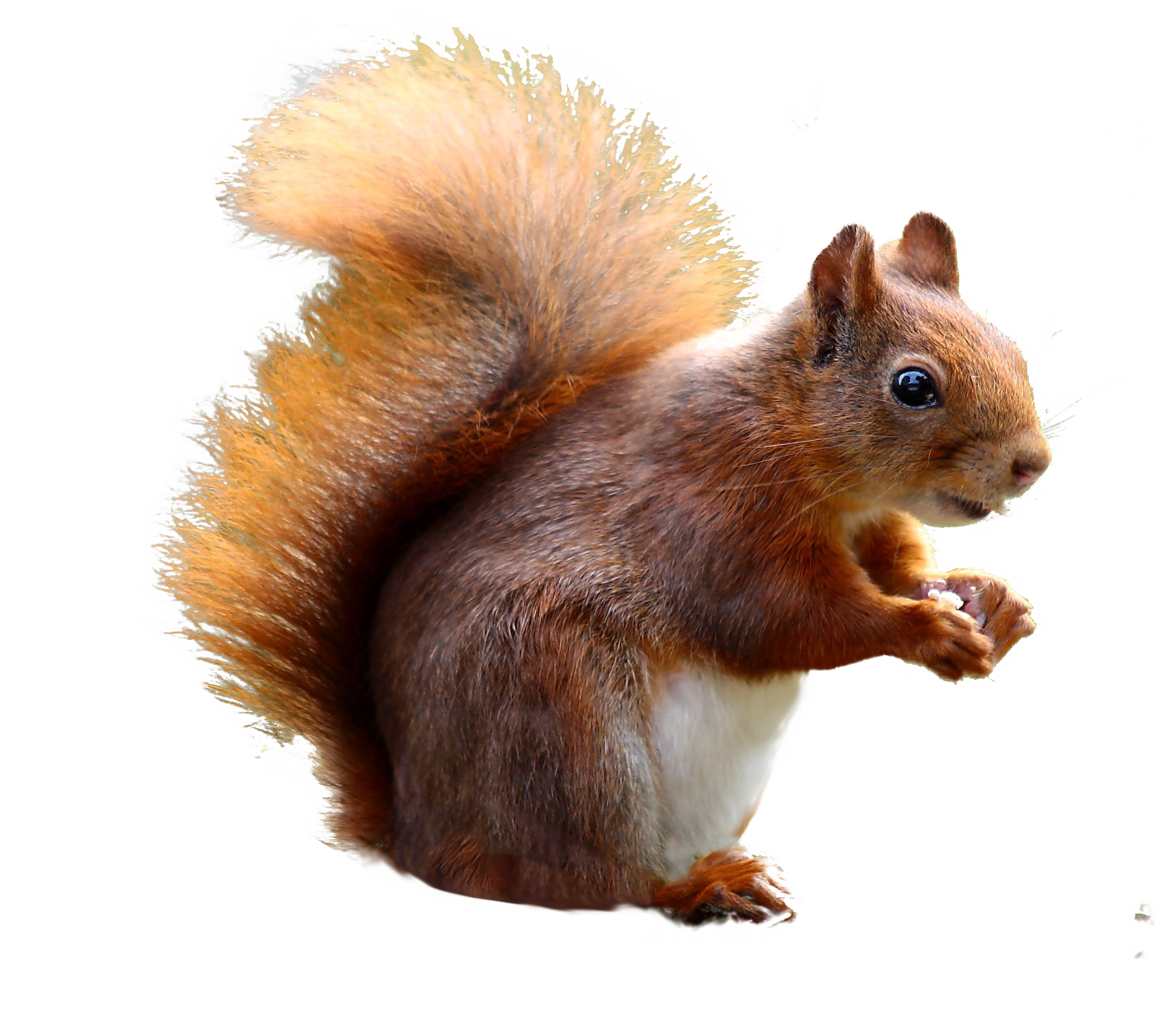 Squirrel standing png. Cute image purepng free