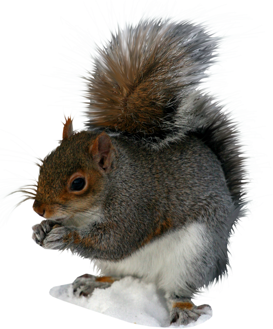 Squirrel standing png. Transparent images all image