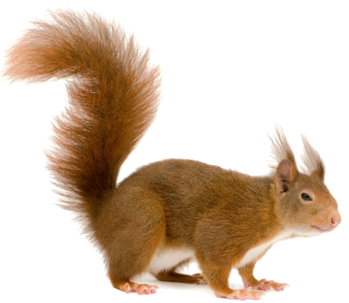 Squirrel tail png. Transparent file web icons