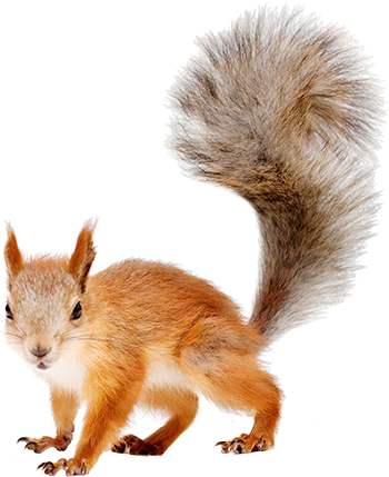 Squirrel tail png. Free peoplepng com