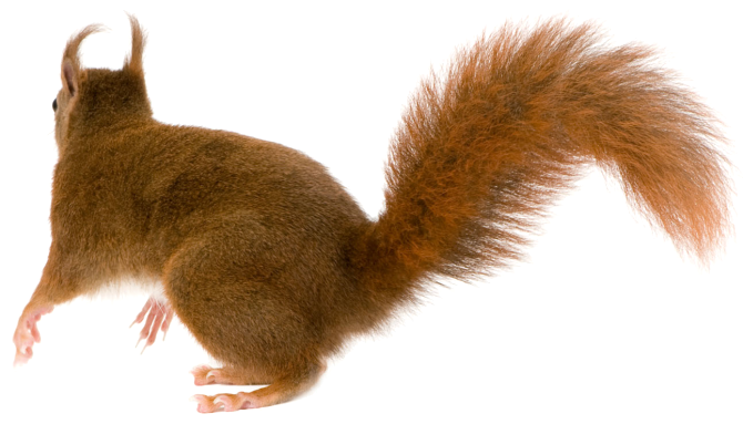 Squirrel tail png.