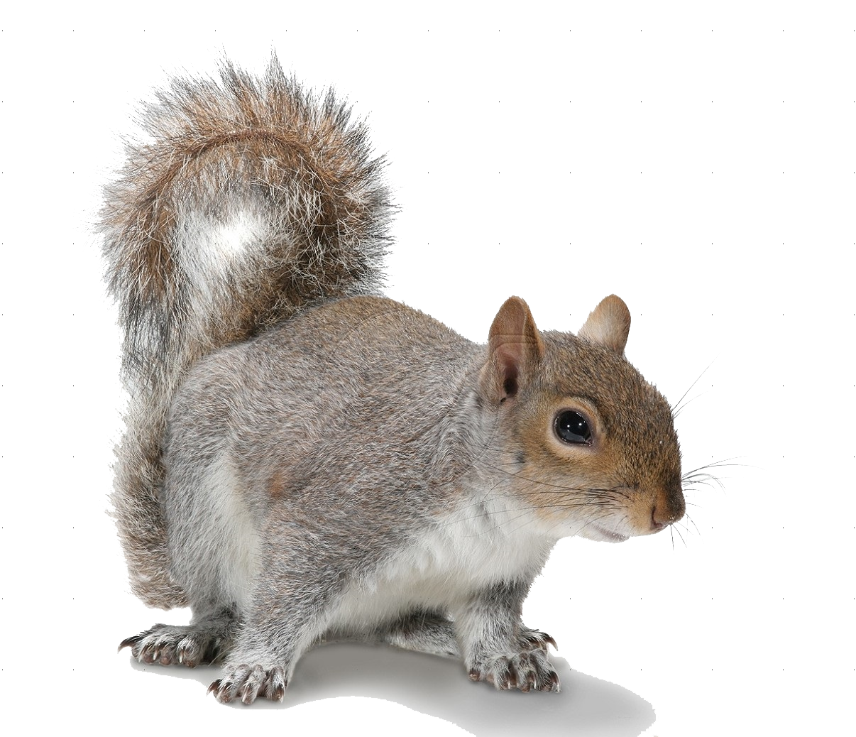 png squirrel