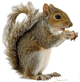 Squirrel with arms out png. Hd transparent images pluspng