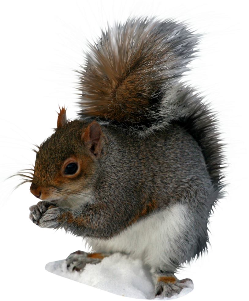 Squirrel with arms out png. By elly on deviantart