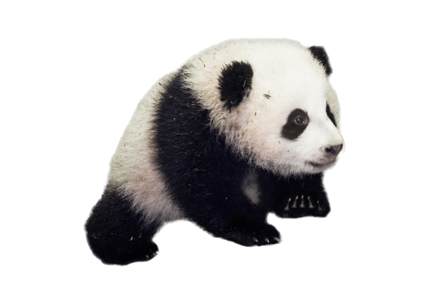 Standing panda png. Download baby images background