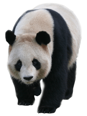 Standing panda png. Transparent background image