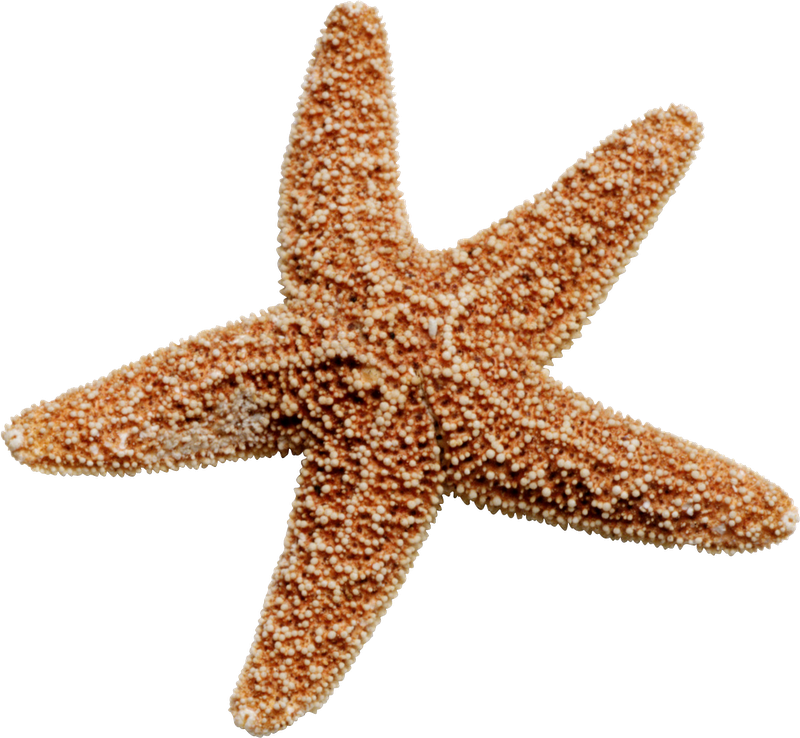 Starfish png. Images free download