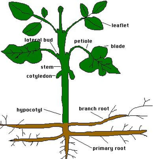 Stem clipart sugar plant. How do plants store