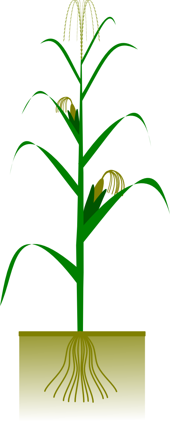 Stem drawing corn. On the cob clipart