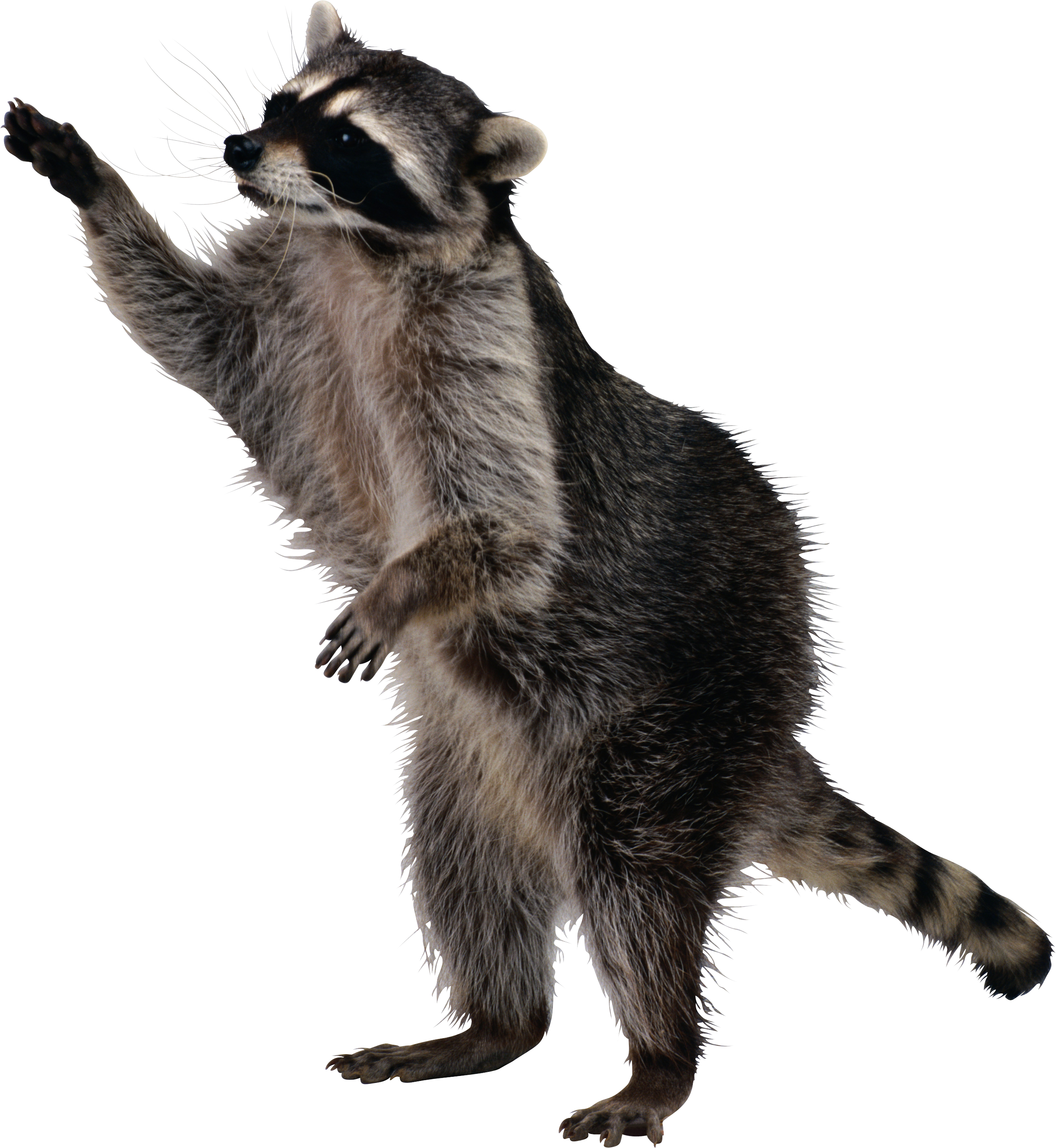 Stock images png. Raccoon