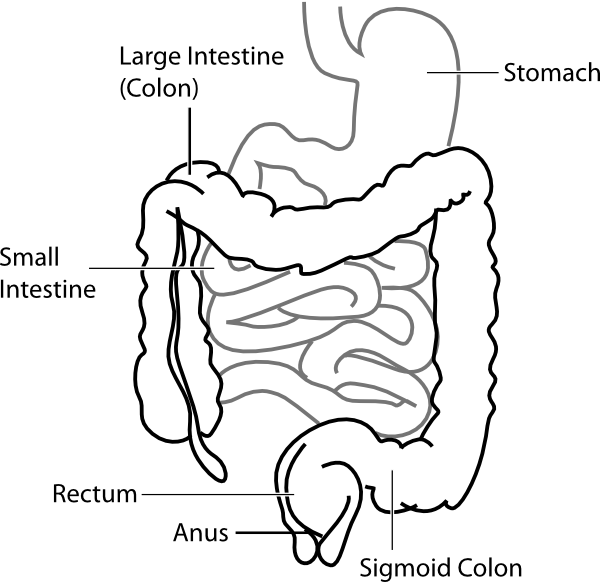 Stomach vector unlabeled. Human intestines clipart