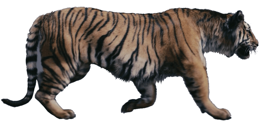 Stripes transparent white tiger. The chronicles of narnia