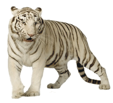 Stripes transparent white tiger. All about tigers detailed
