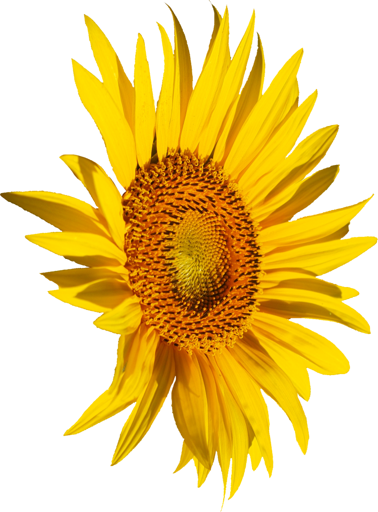 Stroke drawing sunflower. Png transparent onlygfx