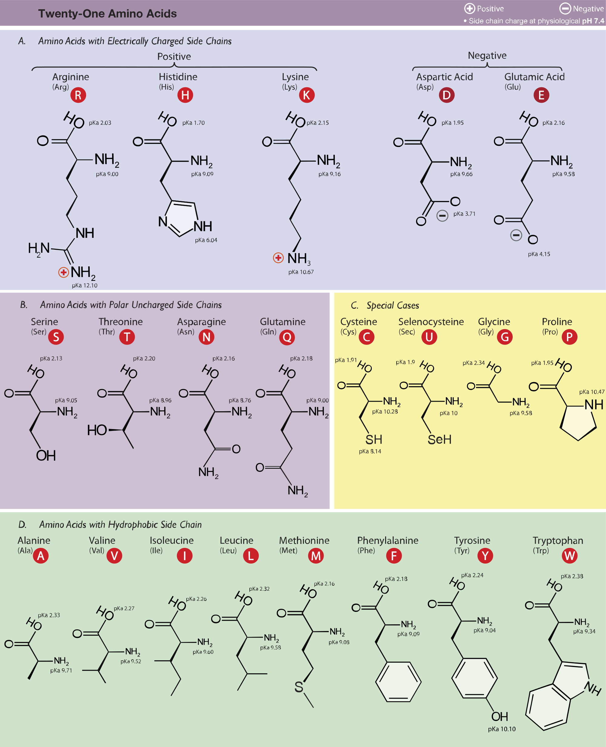 Studying drawing structure. Amino acid study guide
