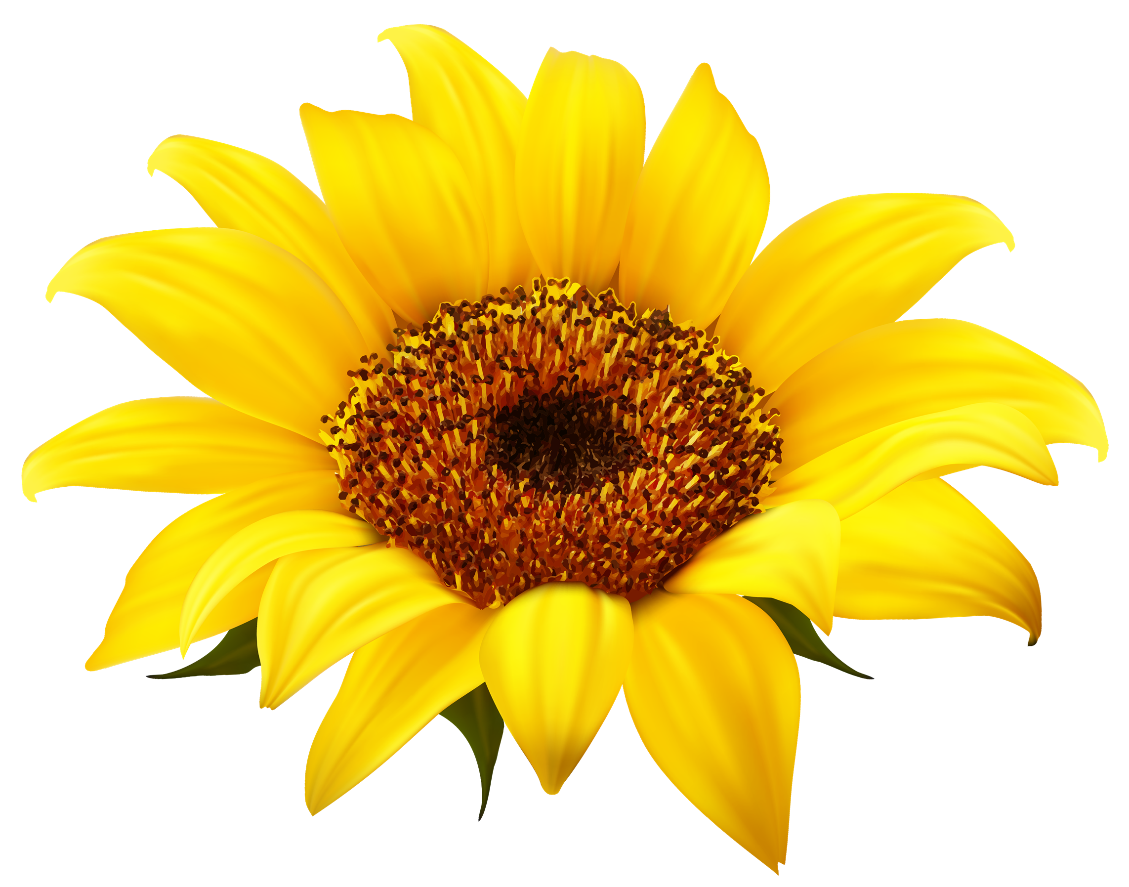 Sun flower png. Sunflower images transparent free