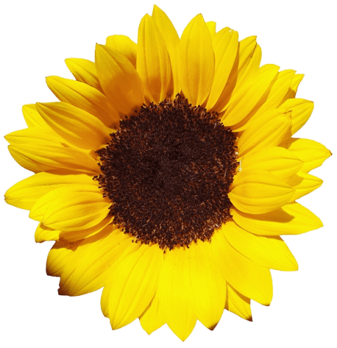 Sun flower png. Sunflower free images toppng