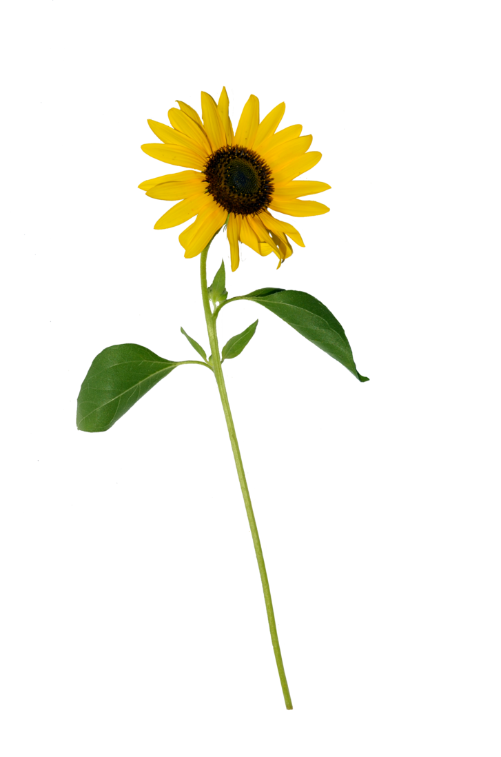 Sun flower png. Sunflower single stock copy