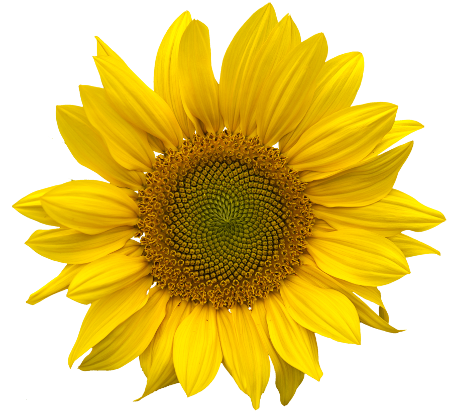 Png sunflower. Images free download