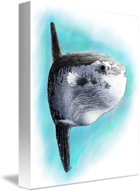 Sunfish drawing mola. Ocean by roger hall