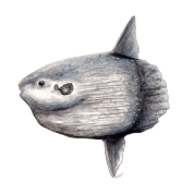 Sunfish drawing mola. Ocean by spreadshirt