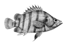 Sunfish drawing pomfret fish. List of fishes india