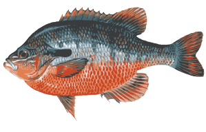 Sunfish drawing realistic. Great clip art of