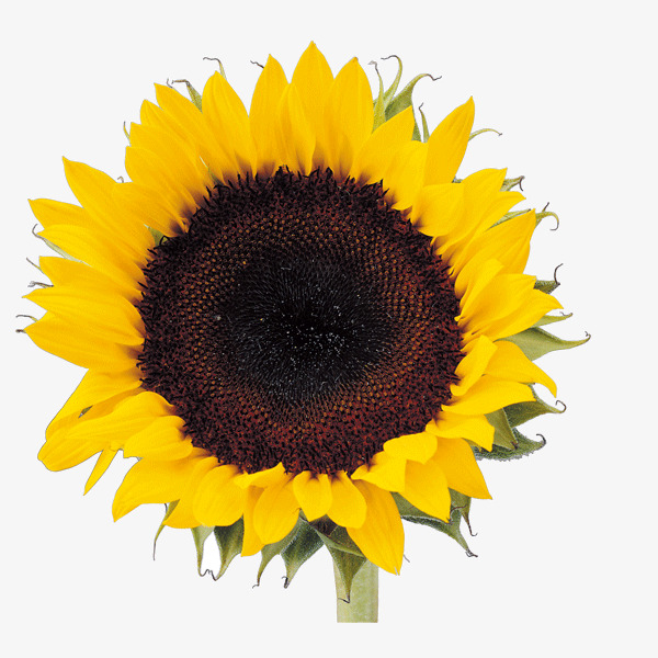 Sunflower clipart aesthetic. Beautiful effect material png