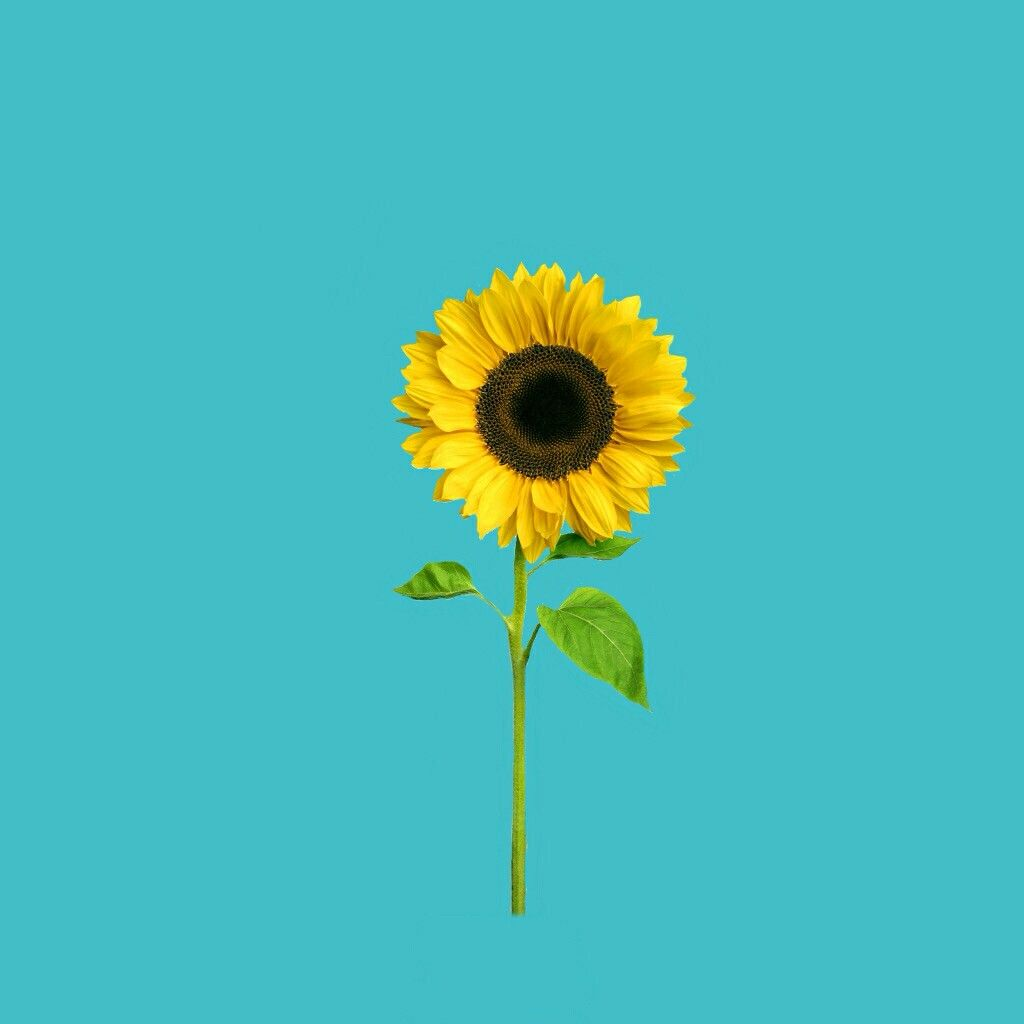 Sunflower clipart aesthetic. Freetoedit colorcolorful yellow blu