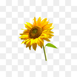 Sunflower clipart aesthetic. Beauty sunflowers yellow glow