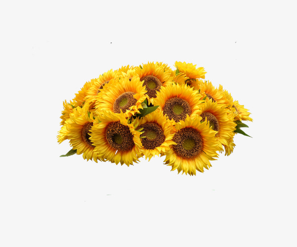 Sunflower clipart cluster. Clusters of yellow sun