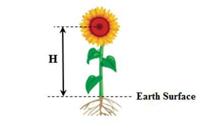 Sunflower clipart diagram. Height of the head