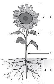 Sunflower clipart diagram. Detailed labeled of pinterest