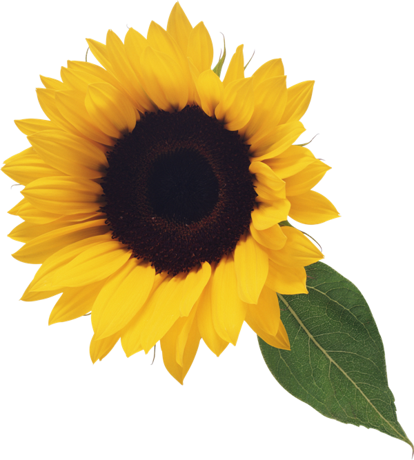 Sunflower clipart realistic. With leaf sunflowers pinterest