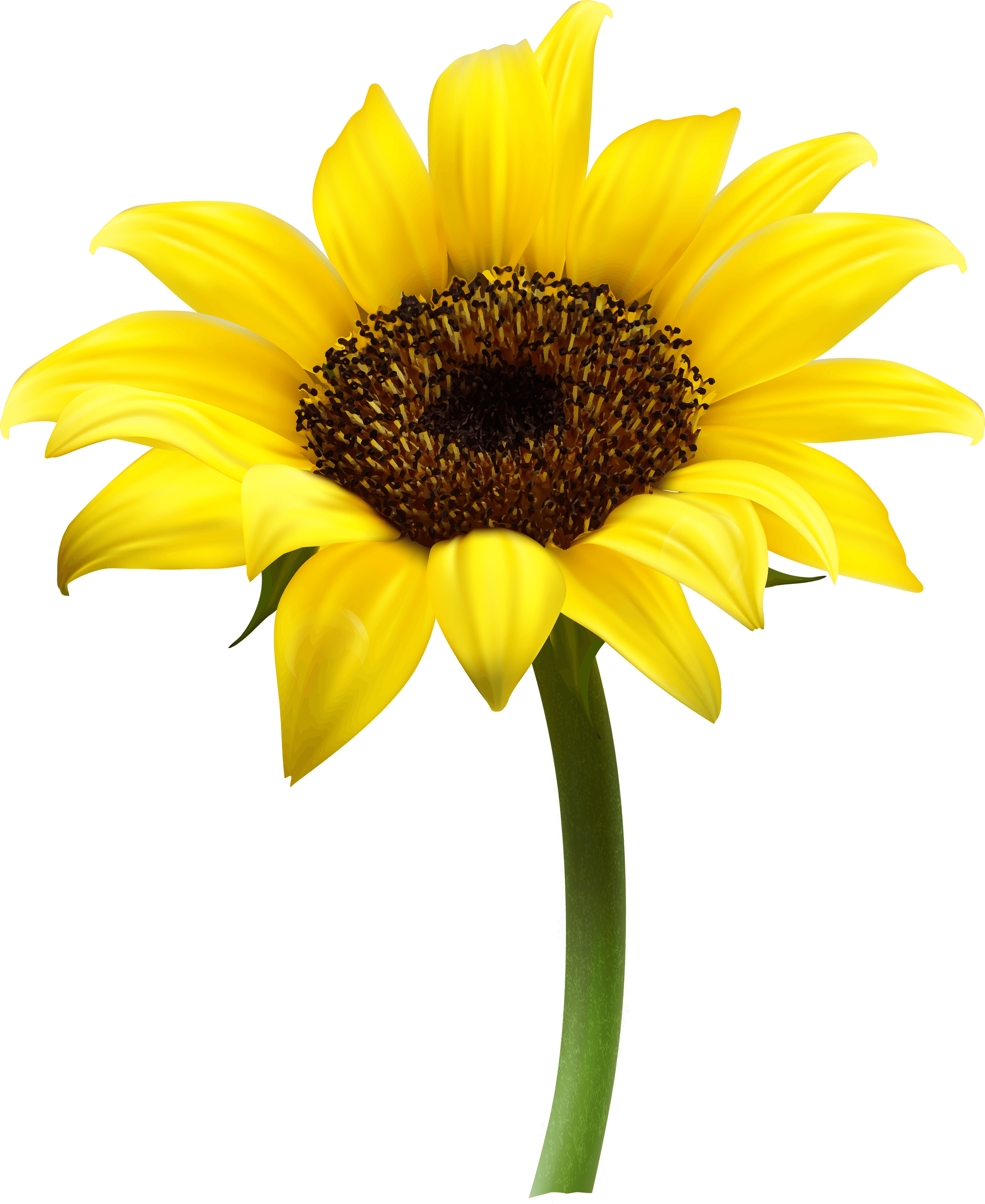 Sunflower clipart single sunflower. Transparent png stickpng