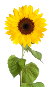 Sunflower clipart single sunflower. Png images transparent background
