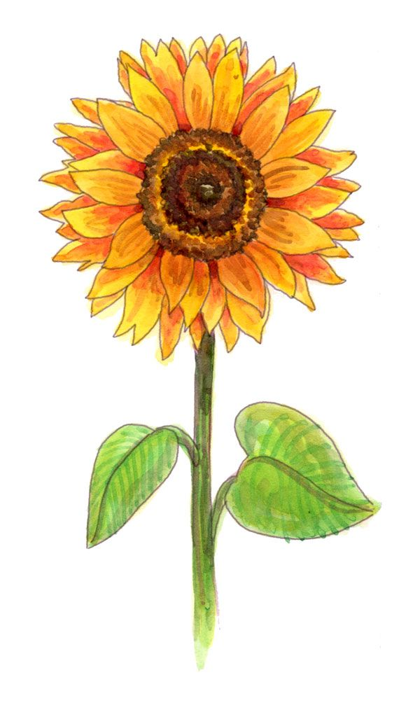 Sunflower clipart single sunflower. Drawing a pinterest crescents