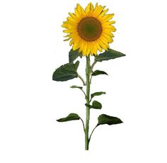 Sunflower clipart tall sunflower. Majestic google search hospice