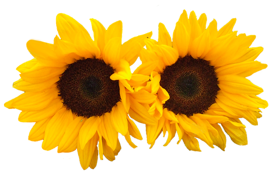 Sunflower clipart tall sunflower. Zonnebloem ge soleerd bloemen