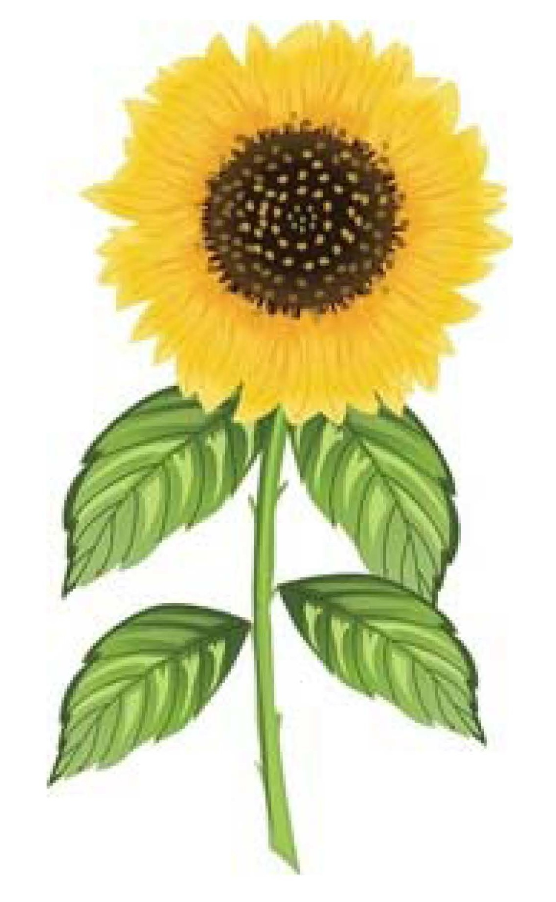 Sunflower clipart tall sunflower. Grow sunflowers in hawaii
