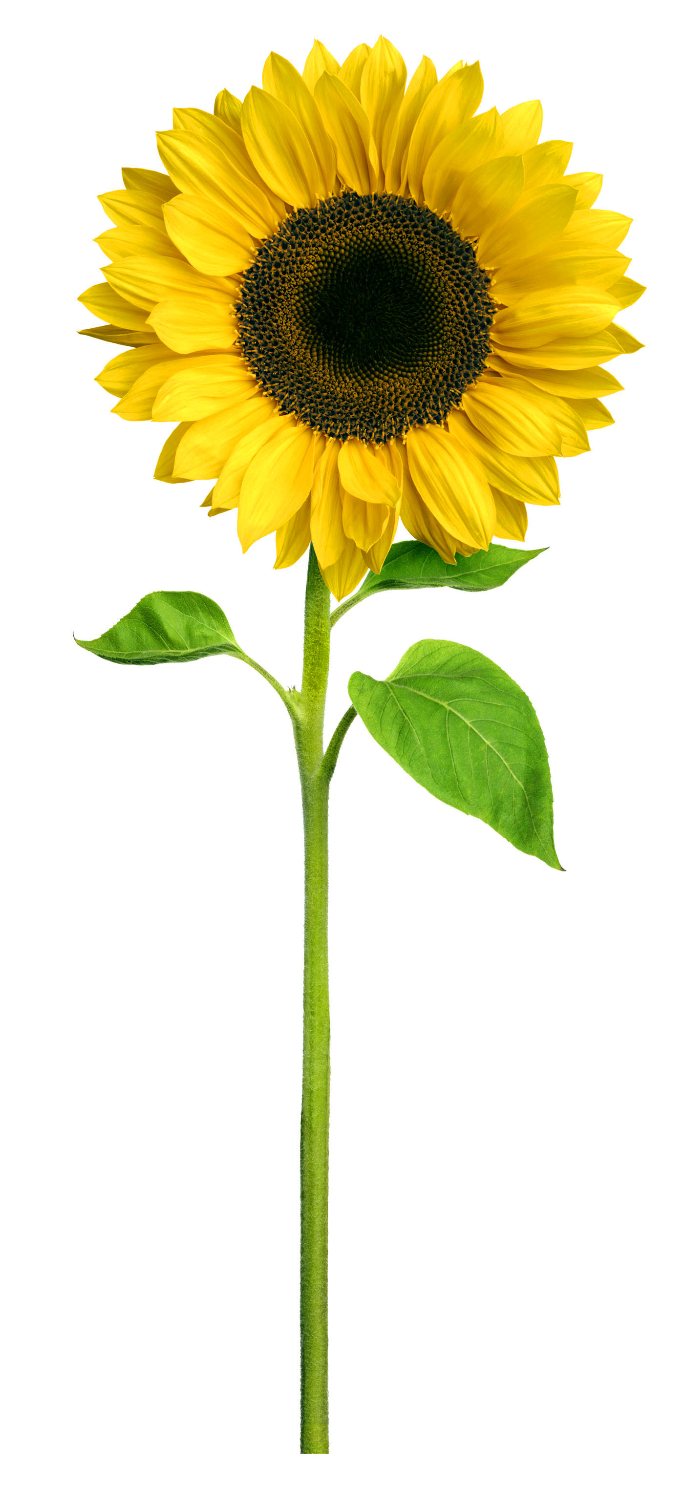 Sunflower clipart tall sunflower. Amazing hd wallpapers collection